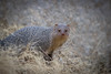 Indian Grey Mongoose | Herpestes edwardsi | 'नेवला' (Paul B Jones) Tags: india indiangreymongoose herpestesedwardsi नेवला nevla siyana siana rajasthan nature wildlife animal mammal asia asian tourist tourism travel ecotourism indian indiya inde indien indië