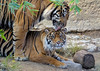The Mating Dance Begins (greekgal.esm) Tags: sumatrantiger tiger bigcat cat feline animal mammal carnivore cj castrojr indah losangeleszoo lazoo losangeles griffithpark sony rx10m3 rx10iii