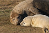 Give us a kiss (jpotto) Tags: uk lincolnshire donnanook seal seals animal mother baby