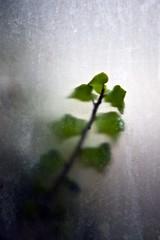 Anonymité (Gerard Hermand) Tags: 1701296434 gerardhermand france paris canon eos5dmarkii lesgrandsvoisins hôpitalsaintvincentdepaul vitre pane verre glass plante plant vert green flou blur