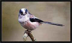 LONG TAILED TIT (PHOTOGRAPHY STARTS WITH P.H.) Tags: long tailed tit stover park devon nikon 300 28
