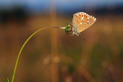Delicacy & beauty (ej - light spectrum) Tags: butterfly schmetterling natur nature olympus omd em5markii makro macro sunlight abend evening bokeh beauty simple sommer summer mzuiko schweiz switzerland flower blume meadow blumenwiese