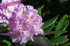 20170526_037 (Thorndike.ar) Tags: cologne deutschland europa europe flora germany köln nordrheinwestfalen northrhinewestphalia rhododendron strauch