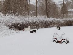 (iluveasycheese) Tags: powerwheels jeep backyard pets ball snow snowday goliath kenny mitch dogs