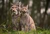 scaring ... (Alex Verweij) Tags: scare scaring angst gapen alexverweij canon 5d 400mm lynx lynxes cat wild nature natuur germany duitsland ear ears predator vleeseters