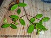 2012-07-24 TEC-7240003 Chamguava gentlei - E.P. Mallory (B Mlry) Tags: tec branching belize belizedistrict belizezoo ca4 calyx chamguavagentlei flora idd leavesopposite leafstructure myrtaceae simpleleaf tbz tecspecimens tropicaleducationcenter axillaryinflorescences crosssection dichotomousbranching exsitu flowerbuds foliage greencalyx habitat reddishbrownstem shortpetioles specimen squarestem stem stemcolor syneugeniagentlei tallos whitebuds whiteflowers wingedstem woody democracia