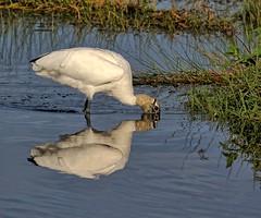 Eyeball Deep (Darts5) Tags: woodstork stork storks bird birds wadingbird wading ef100400mmlll canon7d2 canon7dmarkll canon7dmarkii canon canonef100400mmlii 7d2 7dmarkll 7dmarkii 7d2canon