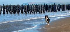 Spot  s'amuse (musette thierry) Tags: vert animaux domestique spot border dog musette thierry reflex nikon d800 moule paysage