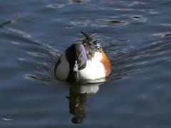 Shoveler duck (Deanne Wildsmith) Tags: earthnaturelife staffordshire shoveller duck fradleynaturecentre fradley fradleyjunction