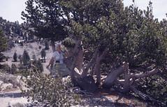 Me & Whitebark pine. Hot in snow. Bumpass Hell (Mary Gillham Archive Project) Tags: 1987 87229 california lassenvolcanicpark marygillham people planttree snowice usa whitebarkpine