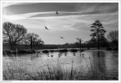 Frozen Still Pond 39/365 (John Penberthy LRPS) Tags: 365the2018edition 3652018 8feb18 d750 day39365 johnpenberthy nikon richmond richmondpark birds blackandwhite frost gulls ice mono monochrome stillpond