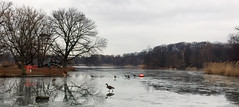 Geese on Ice (Alexander H.M. Cascone [insta @cascones]) Tags: nyc new york city brooklyn park prospect nature animal bird geese winter frozen cold lake lakeside goose wildlife fowl