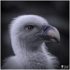 Vale Gier! (nsiepelbakker) Tags: birds valegier omdm5 zuiko75300mm griffonvulture