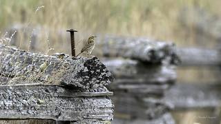 Happy Fence Friday (HFF) Savannah Sparrow Style