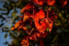 I See Red! (tonyedwardsphotography) Tags: flower flowers flowering plant plants morning goldenlight garden gardening fineartsphotography art arts nikon native sunlight australian australia bokeh early green handheld light leaves life photography photo tree red