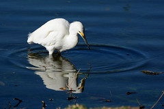 Snowy Egret (linda m bell) Tags: pradoregionalpark 2018 birdwatching chino prado birds california socal snowyegret