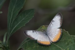Common mestra (jim_mcculloch) Tags: butterflies lepidoptera