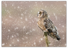 Short Eared Owl Perched In The Snow. (dave.mcculley) Tags: shortearedowl owl perched weather snow eye raptor asioflammeus compositeimage photoshop sefton merseyside border