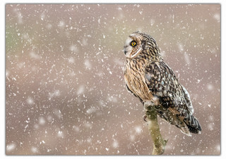 Short Eared Owl Perched In The Snow.