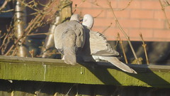 Go on give  us  a  kiss (claire artistandpoet Stroke Survivor) Tags: doves birds kiss feathers beaks