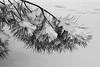 Il peso della neve (RM) (Stefano Innocenzi) Tags: neve piante fiocchi dolce peso