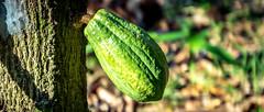 Mi parcela : Riberalta (Oxfam en Bolivia) Tags: cacao seguridadalimentaria seguridad alimentaria medioambiente naturaleza comida agricultura campo grena