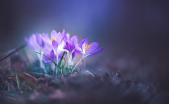 Spring Crocus, Snowdrops series - 13 (Dhina A) Tags: sony a7rii ilce7rm2 a7r2 carl zeiss jena kipronar 70mm f14 kipronar70mmf14 vintage cine 16mm projection projector lens petzval modified artistic 2groups 4elements swirl swirly smooth bokeh spring crocus snowdrops