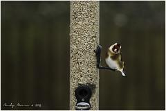 European Goldfinch (Carduelis carduelis) (andymoore732) Tags: european goldfinch cardueliscarduelis gardenbirds ukbirds finch finches birdonfeeder birdfeeder nikon d500 andymoore