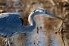 Great Blue Heron at Bombay Hook-2 (Scott Alan McClurg) Tags: aherodias ardea ardeidae bombayhook flickr animal bird blue greatblueheron heron life nature naturephotography neighborhood spring wild wildlife
