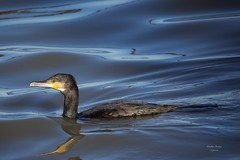 Corvo Marinho (Carlos Santos - Alapraia) Tags: ngc ourplanet animalplanet canon nature natureza wonderfulworld highqualityanimals unlimitedphotos fantasticnature birdwatcher ave bird pássaro corvomarinho cormorant