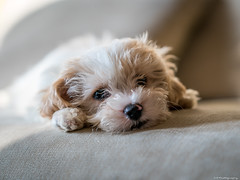 Monty (C.A.Photogenics) Tags: sony a7rii a7 contrast clarity color country day dog animals mansbestfriend light detail warm exposure eye relax uk life vibarance oxford oxfordshire photo peaceful photographer portrait art angle amateur amazing artistic pet cavapoo