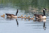 Canada Goose Family  -  Kanadagans familie (CJH Natural) Tags: canadagoosefamily kanadagansfamilie kanadagans canadagoose youngsters young parents parenting lake swim nature wildlife wildlifephotography