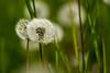Pusteblume (gutlaunefotos ☮) Tags: pusteblume gras grün löwenzahn