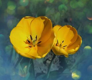 Stratford Ontario - Canada -  Shakespearean Botanical Garden  - Yellow Tulips