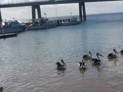 Pelicans waiting , San Remo, Victoria (d.kevan) Tags: australia victoria sanremo marinas boats bridges animals birds pelicans jetties sea gippsland