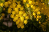 Mimosa (Karol ...) Tags: mimosa plant tree flowers yellow textures bright vibrant