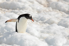 Brown_2017 12 11_2809 (HBarrison) Tags: harveybarrison hbarrison antarctica antarcticpeninsula paradiseharbor brownstation gentoopenguin taxonomy:binomial=pygoscelispapua arctic antarctic arcticantarctic