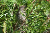 Wattlebird in the front garden (1) (margaretpaul) Tags: watttlebird grevillea frontgarden garden
