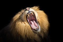 Fear my Yawn (Just BS) Tags: lion pantheraleo bigcat africanlion jaws teeth blackbackground portrait animal aza tampa buschgardens feline mouth open zoo zoosofthesouth zoosofnorthamerica itsazoooutthere cat