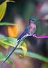 Green-tailed trainbearer (sharp shooter2011) Tags: greentailedtrainbearer ecuador canoneos7dmarkii hummingbirdsofecuador