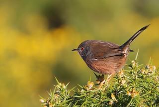 Dartford Warbler- Sylvia undata-Arne RSPB Dorset -080217 (7)