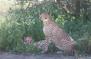 Mother Cheetah with young