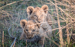 Pompom Camp - Botswana (Guiyomont) Tags: wildlife travel botswana africa okavango delta lion cub play safari animal