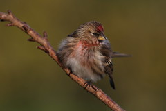 Lesser Redpoll (Chris*Bolton) Tags: redpoll lesserredpoll redpolls bird birds garden nature wildlife avian tree branch perch perching perched rathdrum wicklow ireland