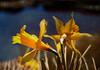 bambolias y charca (vitofonte) Tags: bambolia narciso narcissusassoanus daffodil agua water charca pond textura texture naturaleza nature natura natureza vitofonte