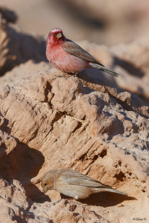 Pair of Sinai rosefinch