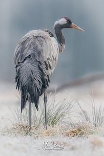 Crane - grus grus - Kraanvogel