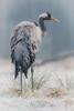 Crane - grus grus - Kraanvogel (fire111) Tags: crane bird wild wildlife poland frozen kraanvogel grus gras nikon