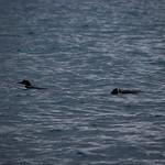 Skilak Lake, AK Loons thumbnail