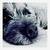 Pippi up close (india_snaps) Tags: bnw blackandwhitephotography closeup macro animal pet dog borderterrier pippi